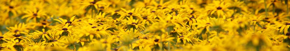 Yellow Flowers En Masse