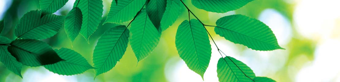 GreenBeechLeaves