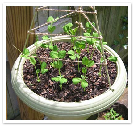 Climbing frame over pot with peas