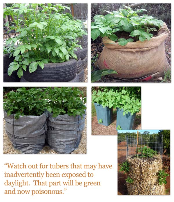 Containers for growing potatoes