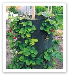 Strawberry tub