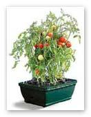Cherry tiomato in a pot