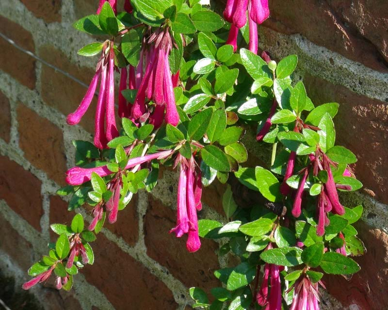 Abelia floribunda - Mexican abelia