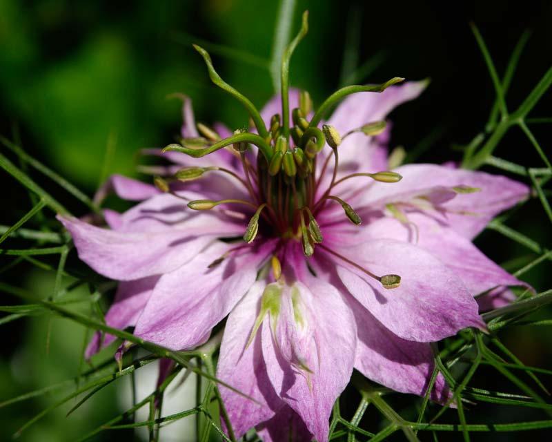 Nigella - Better Homes and Gardens