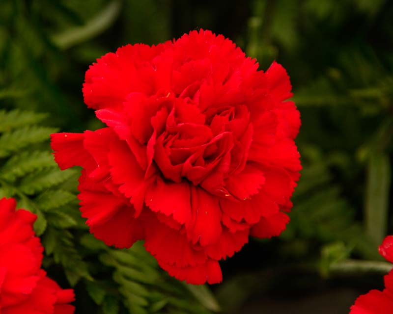gardensonline dianthus caryophyllus