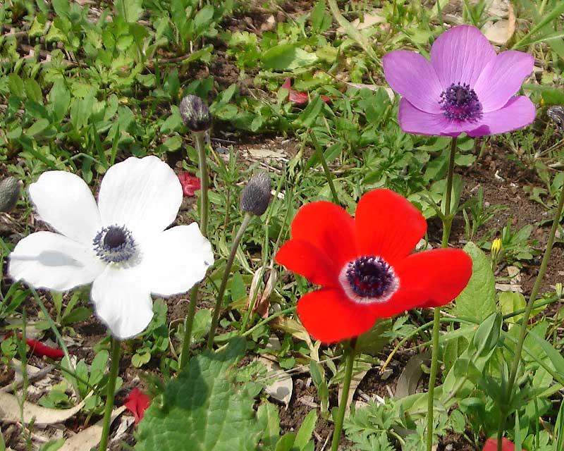 gardensonline anemone coronaria. Black Bedroom Furniture Sets. Home Design Ideas