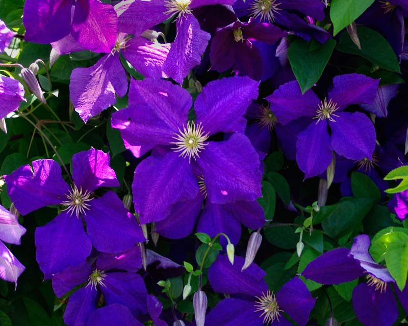 clematis jackmanii superba images. Black Bedroom Furniture Sets. Home Design Ideas
