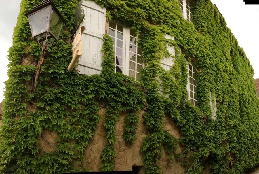 Parthenocissus tricuspidata as seen in Sarlat, Dordogne, France