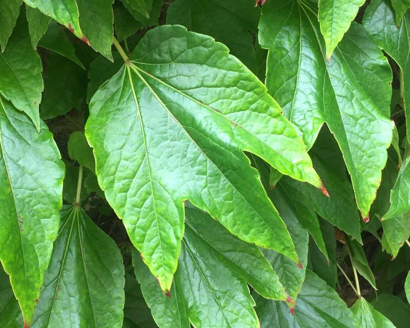 Parthenocissus tricuspidata or Boston Ivy - during summer