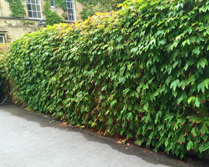 Parthenocissus tricuspidata or Boston Ivy as seen at Christs College, Oxford