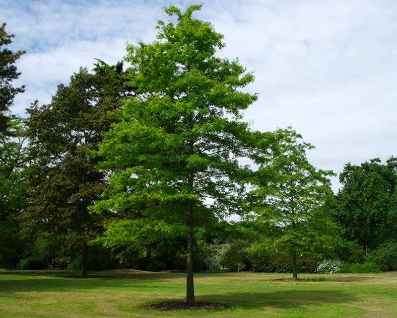 Shade Evergreen Trees