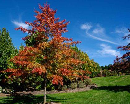 Gardensonline Quercus Palustris