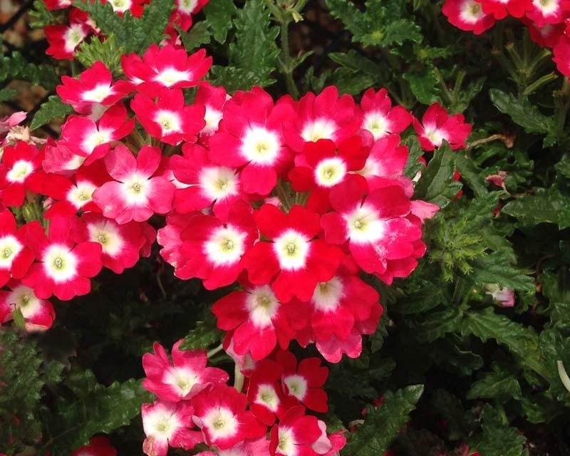 Gardensonline Verbena X Hybrida