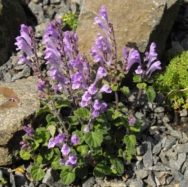 Gardensonline Scutellaria Indica Var Parvifolia