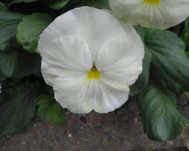 White Viola Flowers - Bing images