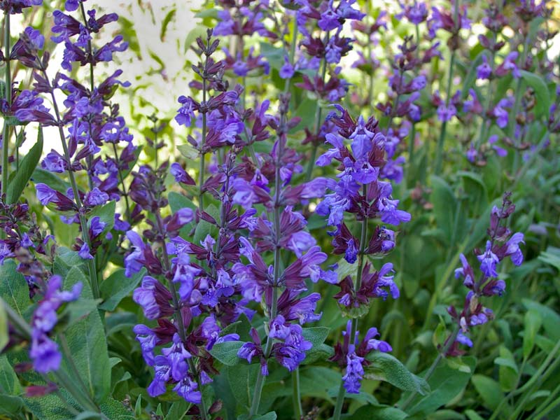 Gardensonline Salvia Officinalis