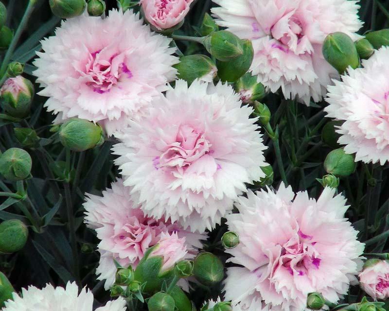 Dianthus caryophyllus  Wikipedia