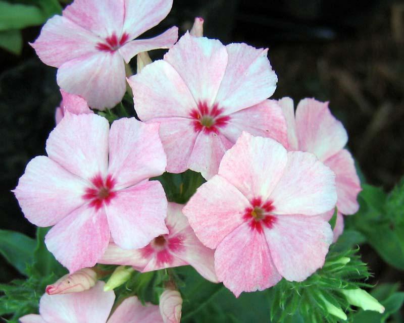 Phlox Drummondii GardensOnline: Phlox d...