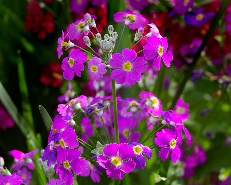 Primula Malacoides, this is CarmineGlow