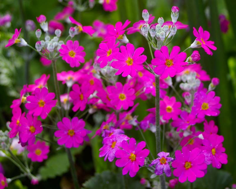 Primula malacoides, this is Royalty Pink