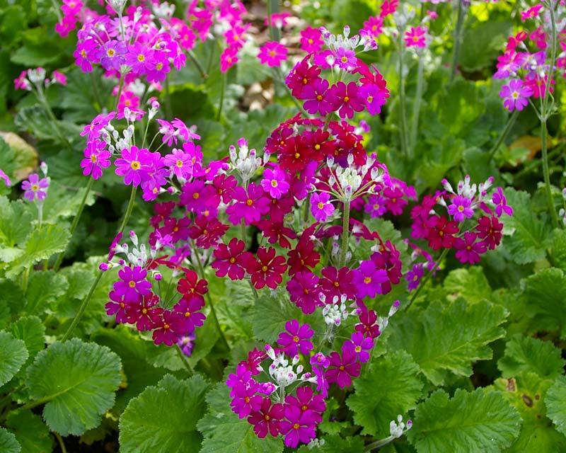 Primula malacoides, Wineglow is the burgundy others are Royalty Pink