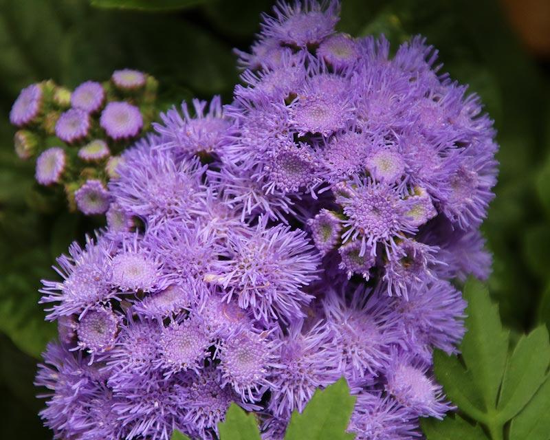 Ageratum houstonianum Blue Mink