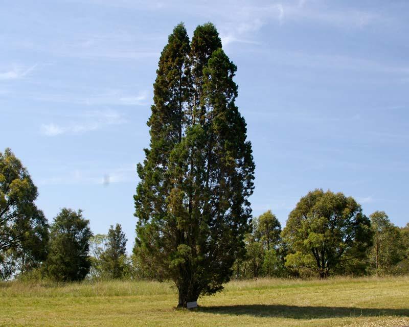 gardensonline  callitris columellaris