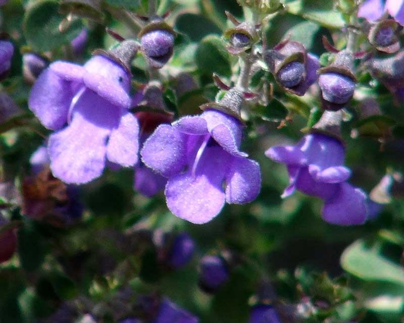 Gardensonline Prostanthera Rotundifolia