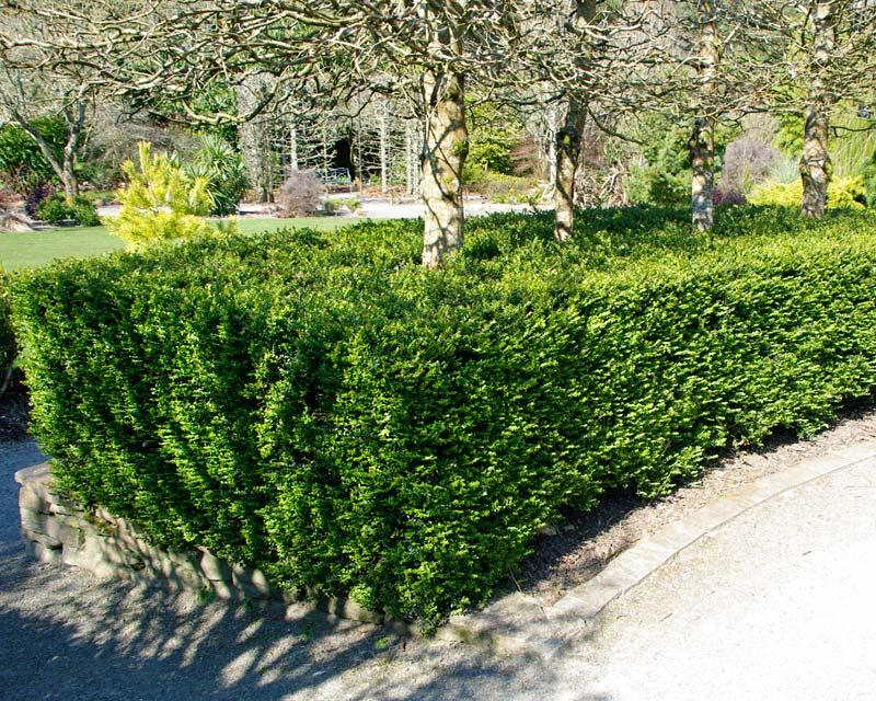 Lonicera nitida as a low hedge