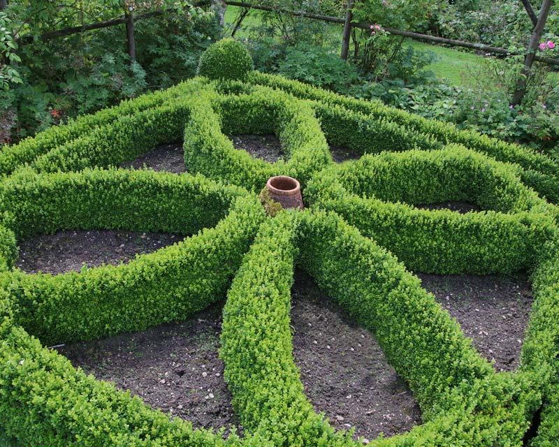 Gardensonline Buxus Sempervirens