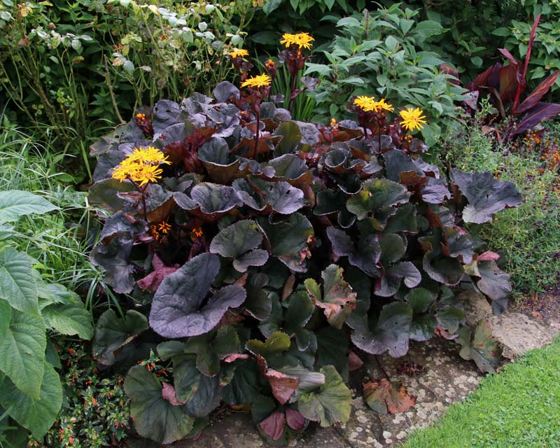 Gardensonline Ligularia Dentata
