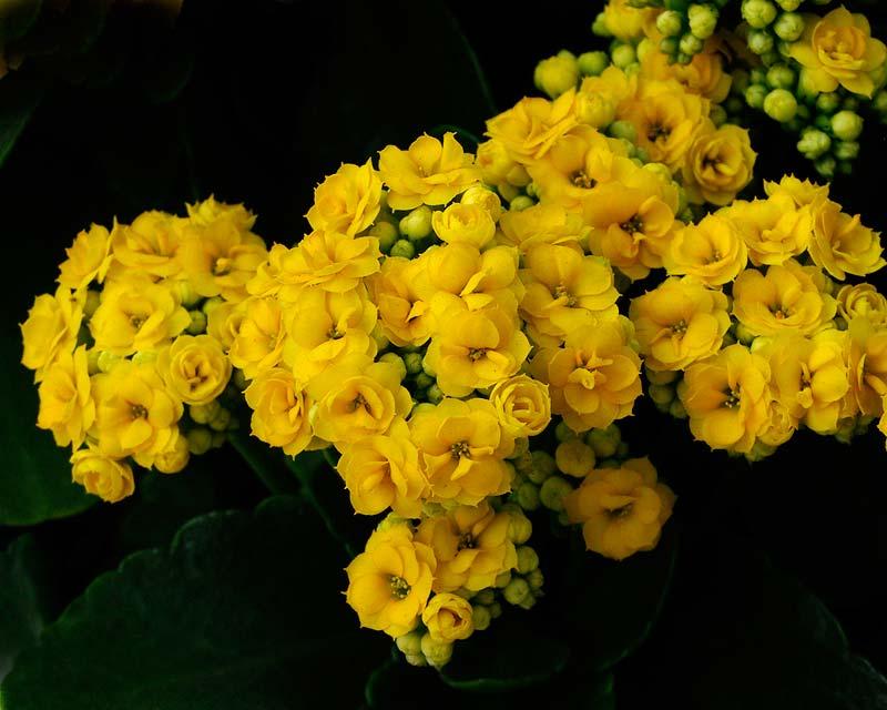 Gardensonline Kalanchoe Blossfeldiana