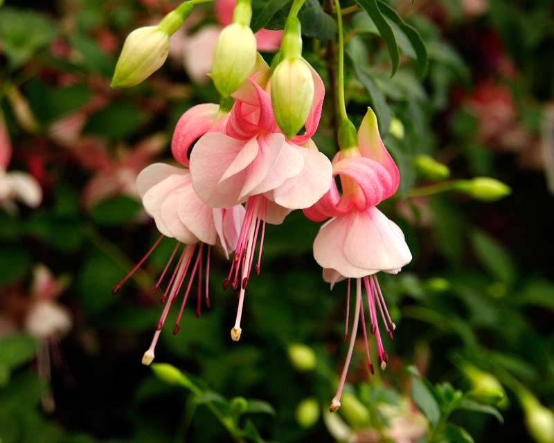 Gardensonline Fuchsia Trailing Hybrids
