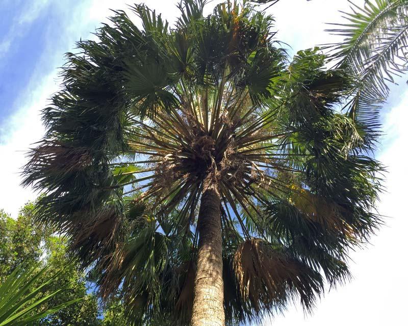 Gardensonline Livistona Australis