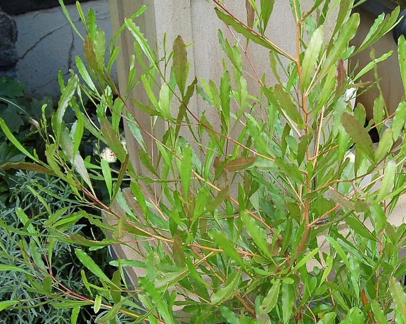 Gardensonline Dodonaea Viscosa Purpurea