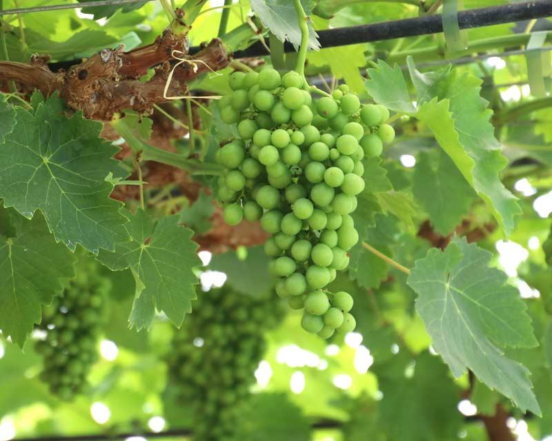 gardensonline  vitis vinifera