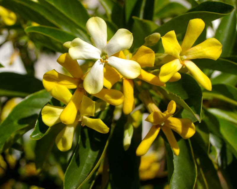 Gardensonline Hymenosporum Flavum