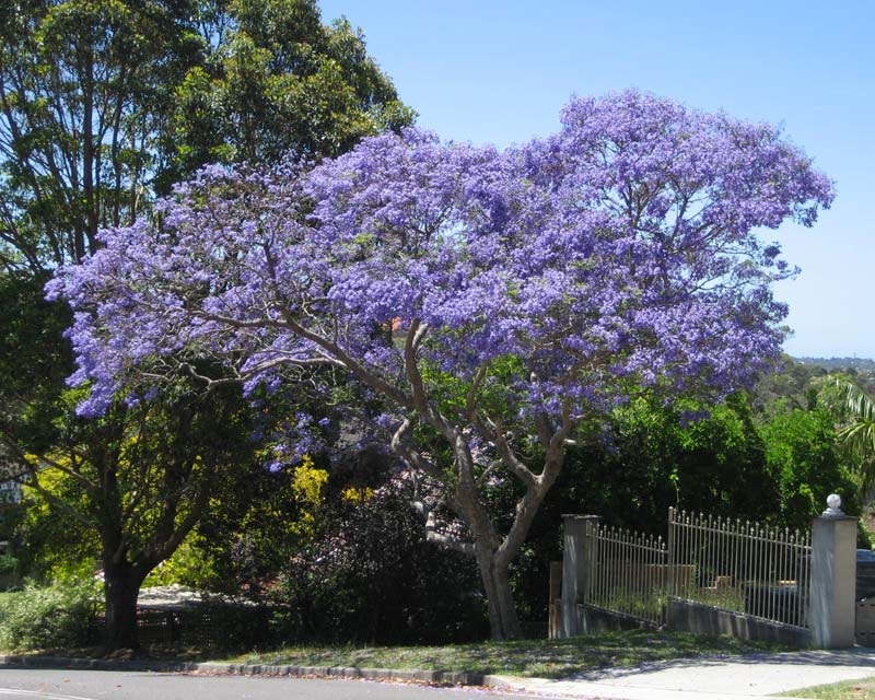 Gardensonline jacaranda mimosifolia for Planta ornamental jacaranda