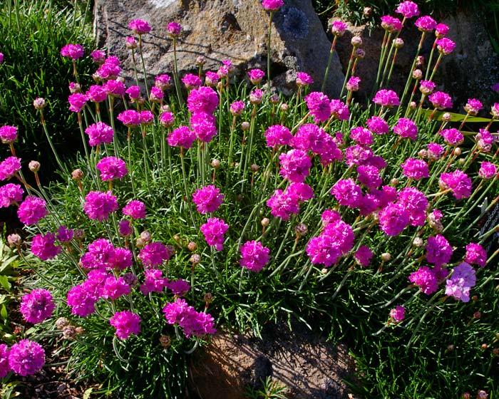 Gardensonline armeria maritima - Fiori perenni da giardino ...