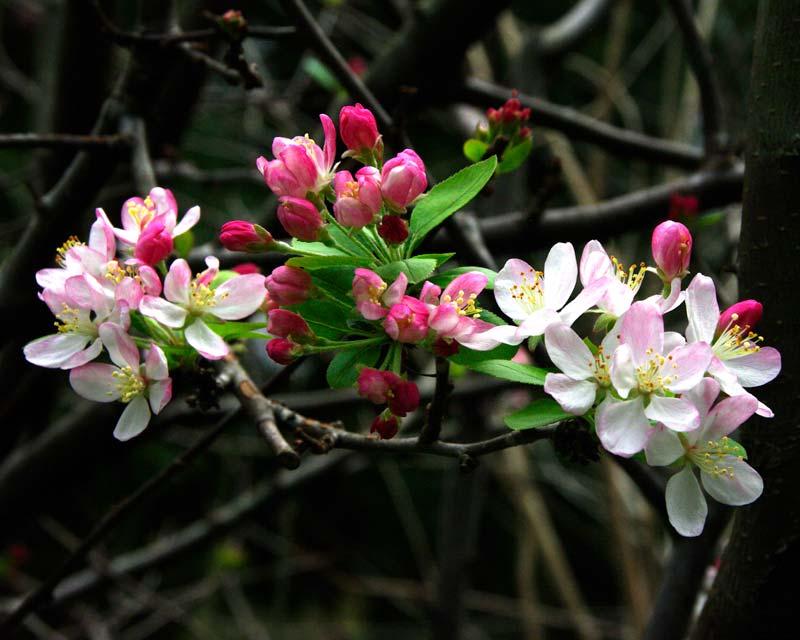 floribunda crabapple - photo #33