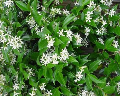 Gardensonline Trachelospermum Jasminoides