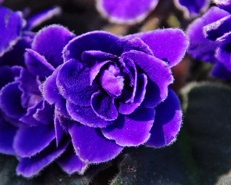 Gardensonline saintpaulia ionantha hybrids for Violetta africana