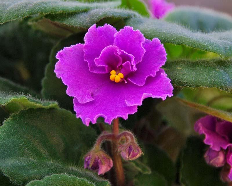 Gardensonline Saintpaulia Ionantha Hybrids