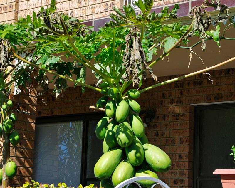 Gardensonline Carica Papaya