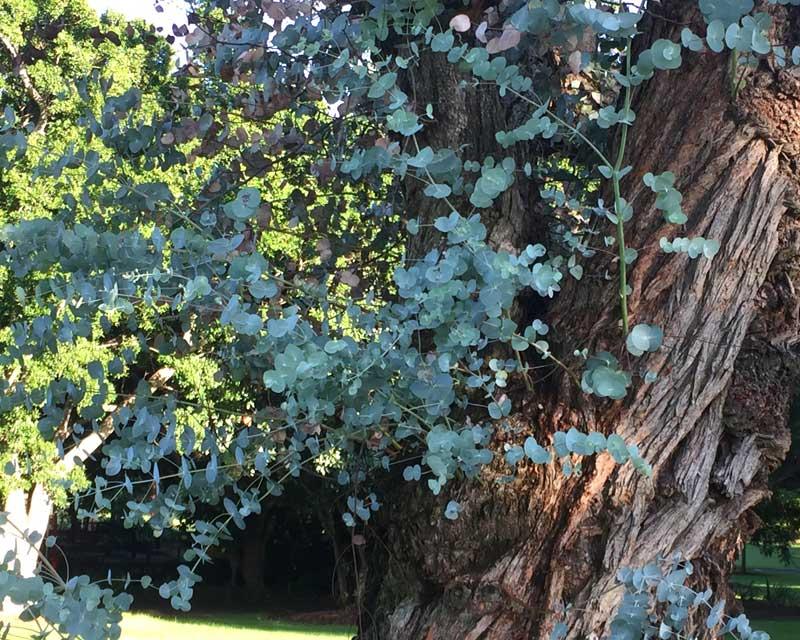 GardensOnline: Eucalyptus Cinerea