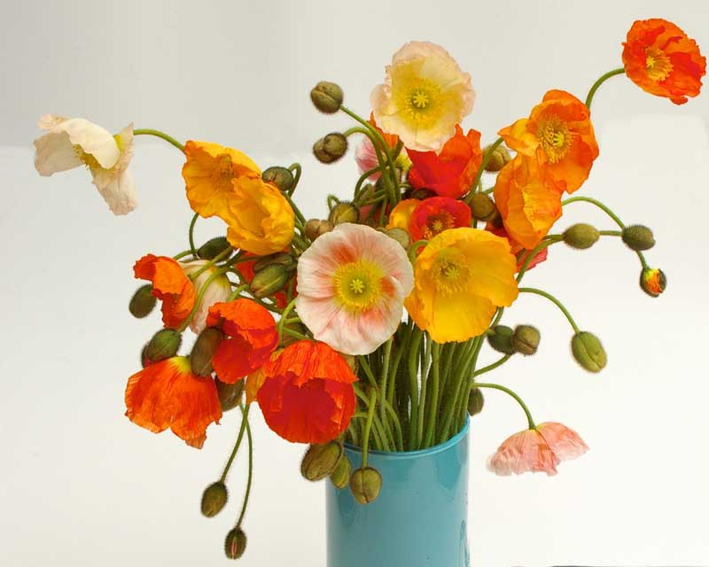 how to make cut poppies last