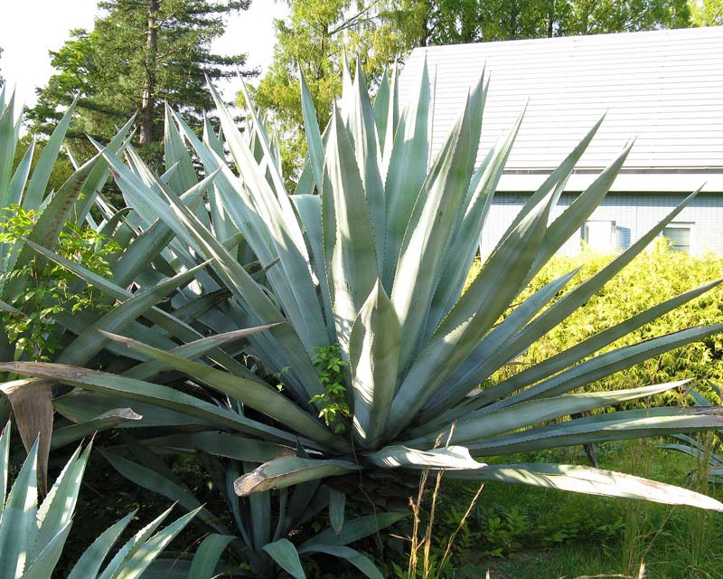 Gardensonline agave americana for Yuka plante exterieur
