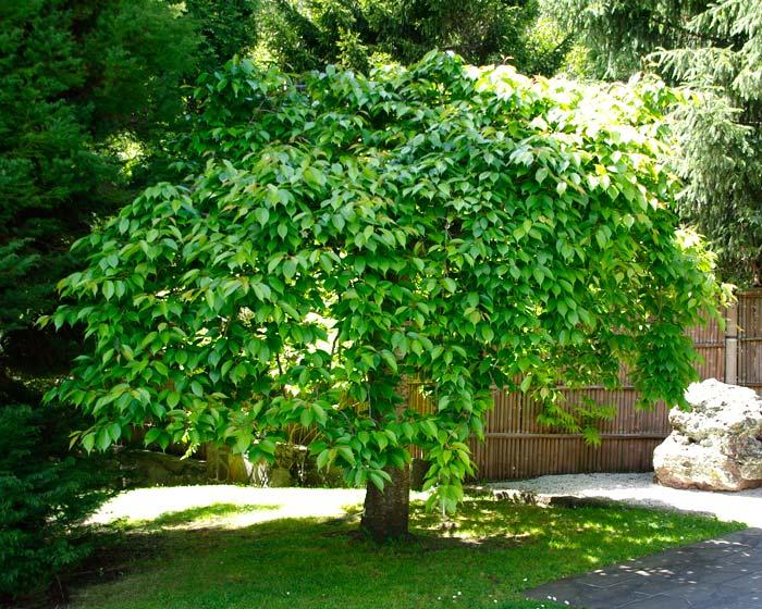 Gardensonline Prunus Subhirtella Pendula Rosea
