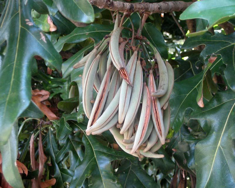Gardensonline Stenocarpus Sinuatus