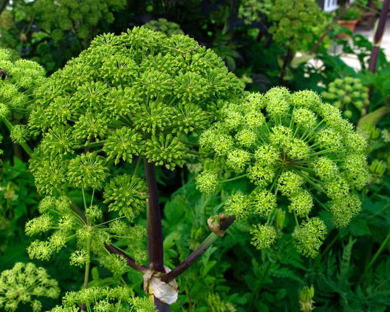 Gardensonline Angelica Archangelica